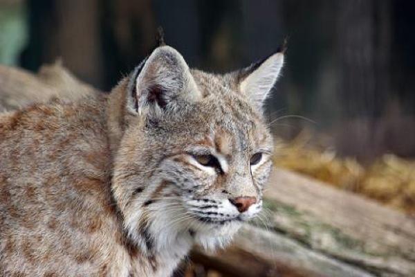 Lynxcat